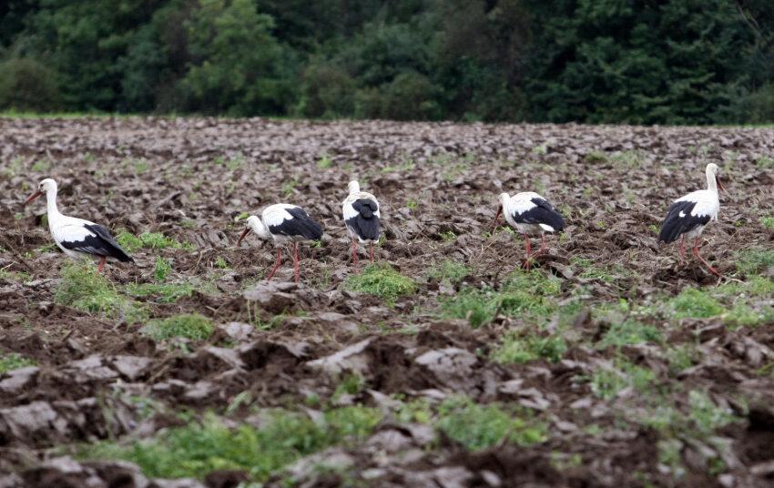 Kodėl paukščiai nyksta 5 kartus sparčiau ir ką dėl to daryti?